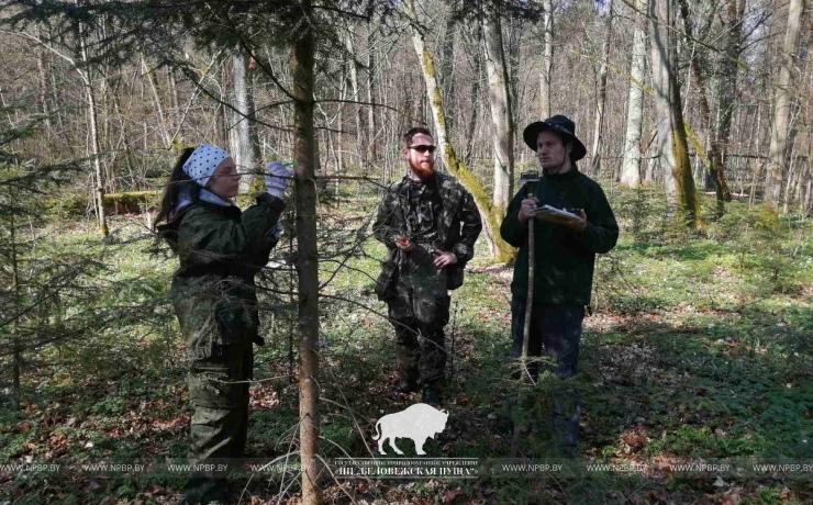Уникальные редкие растения (всего 23 взрослых дерева) спасают в Беловежской пуще учёные