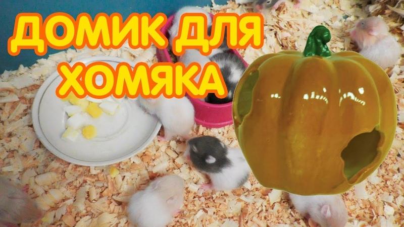 Сирийские хомяки 15 21 дней Новые кормушки и домик для хомяка