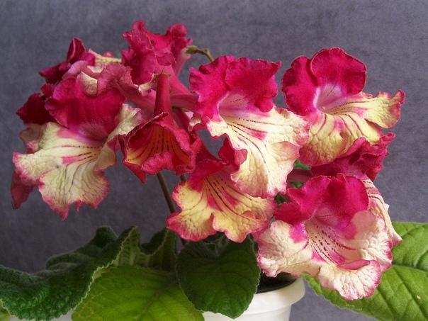 Стрептокарпусы Стрептокарпусы светолюбивые растения, предпочитают мягкий рассеянный свет. Лучше всего подойдет расположение их на восточных или западных окнах. При размещении на южных окнах