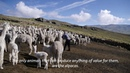 The Story of Alpaca Wool from Peru