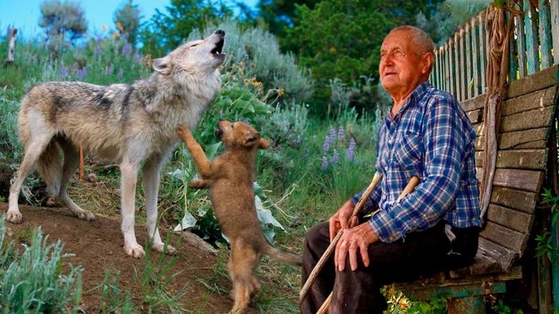 Умирающая волчица отдала последнего волчонка человеку чувствуя его доброту