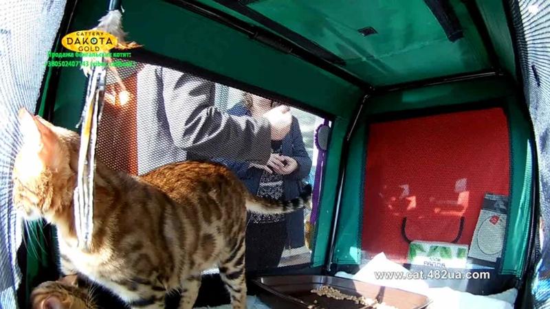 20102018, Харьков, Выставка кошек, RUI, Локомотив, часть 5, бенгалы