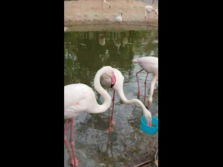 Вероника и Вика кормят фламинго