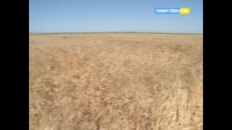 ТұранТүркістан Ақпарат Облыс әкімі алғашқы астық оруға қатысты