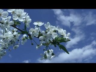 Пусть цветут вишни