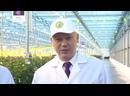 Голландские розы теперь выращивают в Сибири. Декабрь 2020
