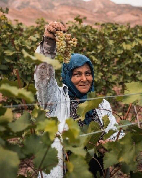 Фоторепортаж со сбора винограда в Южном Дагестане #Dagestan