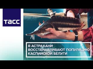 В Астрахани восстанавливают популяцию каспийской белуги