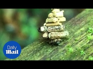 Tiny moth carries twigs ten times the size of its body!