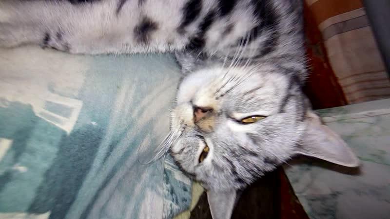 кошка Бориска и 4 котеночка Британцы mp4