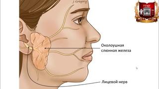 Слюнные железы - учебно-методические видео по анатомии