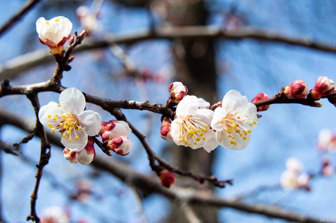 В Луганске уже цветут абрикосы
