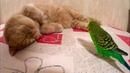 Kesha bird wakes up his best friend Marsic the cat