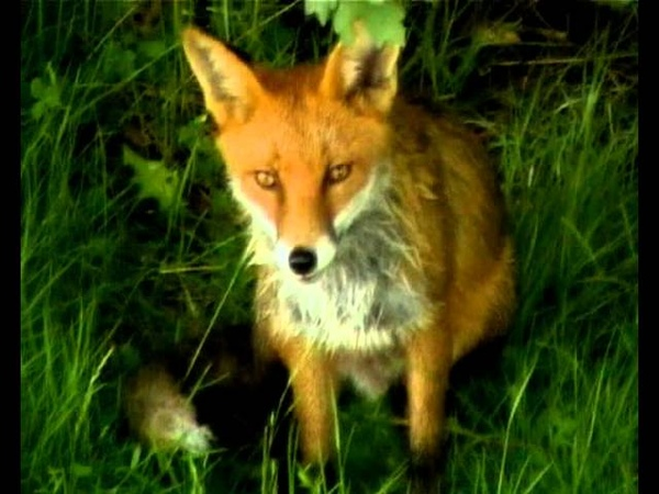 Feeding a wild fox кормим дикую лису