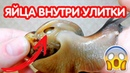 Яйца внутри улитки. Как узнать беременна ли улитка ахатина?