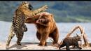 ТИГР В ДЕЛЕ / Полосатый против медведя льва кабана собаки и слона