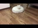 Creepy roomba cat - 994651